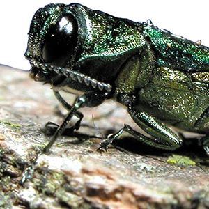 Emerald Ash Threat